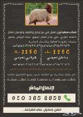 لذبح خرفان نعيمي بلدي شمال وشرق الرياض