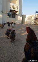 دجاج براهما احجام كبير ماشاء الله