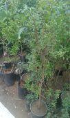 مشتل ابوعلى لجميع انواع الزراعة