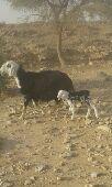 شاه نجديه تحتها خروف