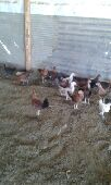 للبيع صوص دجاج ((تم البيع ))