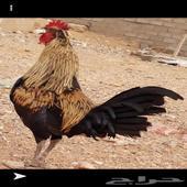 م ط ل و ب دجاج بشاير