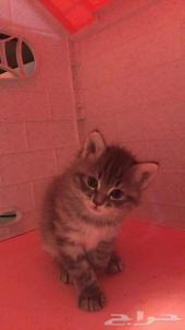 قطط كيتن شيرازي بيور للبيع