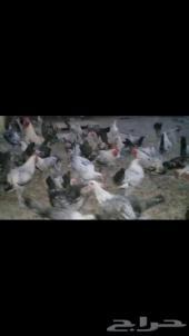 دجاج وديكه للبيع