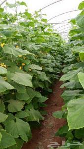 مزرعة بيوت محمية  استثمارية