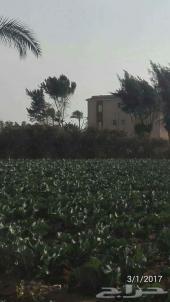 مزرعه14 فدان  بارقي مناطق بالمنصورية
