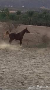 حصان كفوو للبيع مستعجل