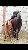 عنز شامية مع بنتها للبيع
