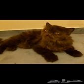 قطط . ذكر بيكي فيس . انثى سيامي