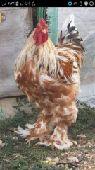 زوج دجاجه وديك