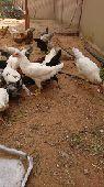 دجاج بلدي بياض وديوك البيع