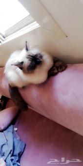 قطه هملايا للبيع
