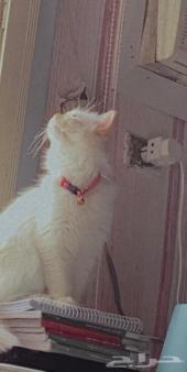 قطة هملايا اورنج انثى للتزاوج