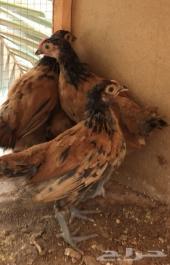 دجاج لاكن فلر Lakenfelder chicken