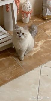 قطة شيرازية لعوبه جدا وجميلة