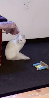 قطط شيرازي ذكر
