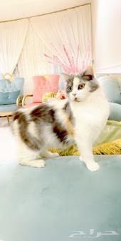 قطه او بسه شيرازي للبيع ( خميس مشيط و أبها )