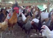 دجاج بلدي بشاير و مستلزمات مزرعة للبيع