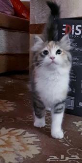 للبيع قطة صغيرة شيرازي