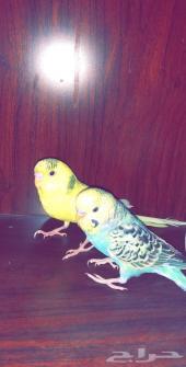 للبيع جوز طيور الحب