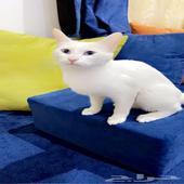 قطه للبيع شيرازي انثى العمر 6. اشهر