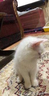 قطتين كيتين شيرازي ذكر وانثى للبيع