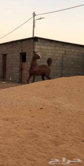 حصان شعبي شيخ منوه القاني