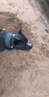كلب بلو نوز