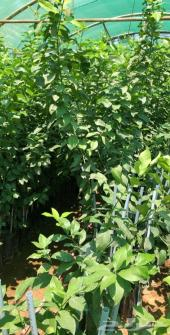 اشجار شتلات حمضيات بجميع انواعه مطعم ومضمون