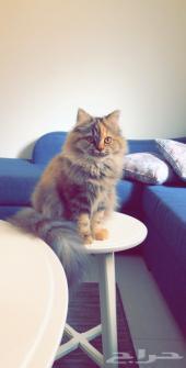 قطه امريكي ميكس شيرازي