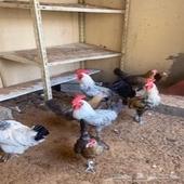 بيع دجاج مشكل بياض