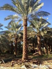 توريد نخيل عربي - واشنطونيا - نجيلة - جميع المقاسات داخل وخارج المملكة - أبو ثامر جوال -0534117011