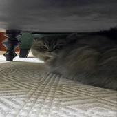 قطة هجين سكوتش مع شيرازي