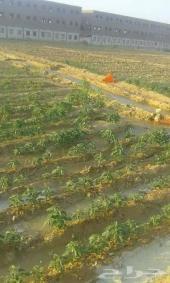 مهندس زراعي وعمال مزارع محميات ومكشو استقدام