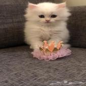 قطط قطه قطوه قط شيرازي