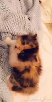 قطط صغيره
