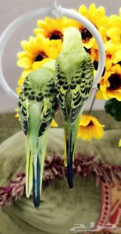 للبيع زوج طيور أليف جدا مناسبه للعب مع لأطفال