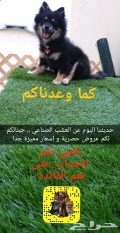 كلاب العشب الصناعي باقل و ارخص الاسعار