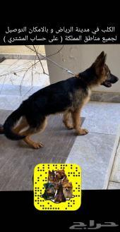 كلب جيرمن شبرد كسحة و مواصفات عالية جدا