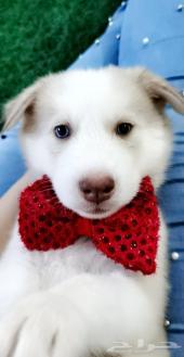 للبيع كلب هاسكي أبيض صافي فخم جدأ