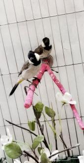 للبيع زوج طيور البلبل العراقي من أجمل الطيور