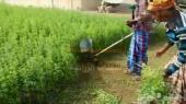 حصادة برسيم و أعلاف يدوية