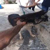 للبيع كلب هاسكي انثى ع اسوم البيع مستعجل الع
