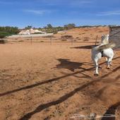حصان جمييل ( وهو ) عربي يحتاج عسف زمان ما ركب