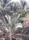 مزرعة للإيجار في حي القادسية في البكيرية