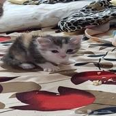 للبيع قطة شيرازى بيور عمر 40 يوم