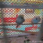 زوج طيور الحب انقليزي منتج