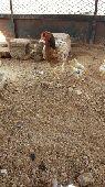 دجاجتين باكستانيه معها 11 صوص