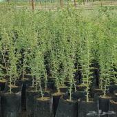 بيع جميع الأشجار والنباتات البرية والصحراوية