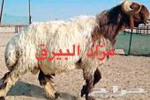 مزاد االبيرق للحلال لاهل الشرقيه واتسب